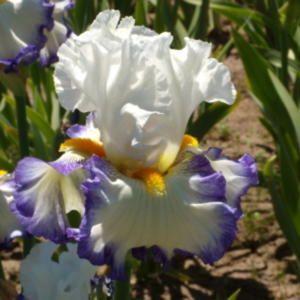 Revision Iris