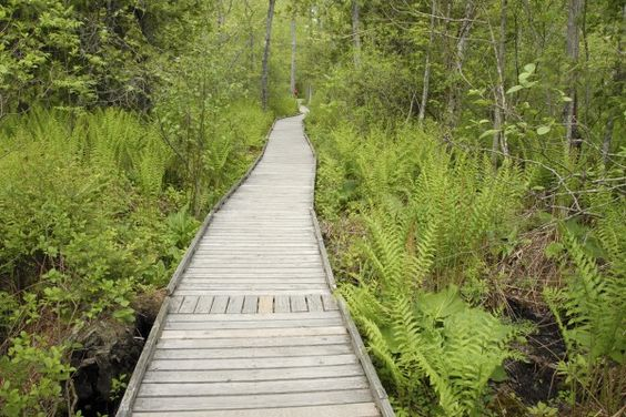 Before reaching the Orono Bog, a boardwalk winds through a mixed forest where long-stemmed cinnamon ferns abound.
