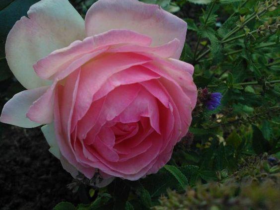 Eden rose (Pierre de Ronsard)