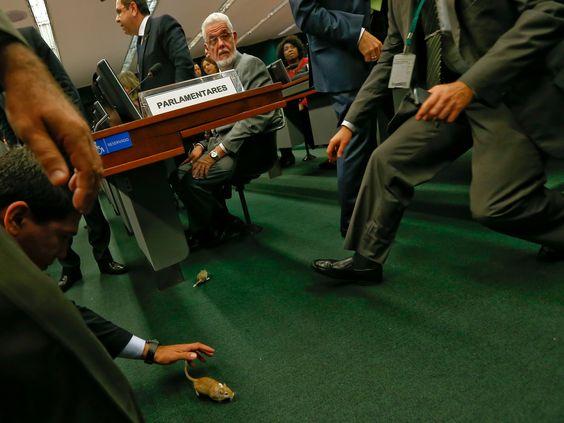 CPI que ouve o tesoureiro do PT, João Vaccari Neto, é interrompida por manifestante que soltou roedores durante a sessão