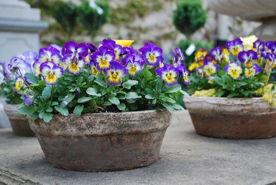 yellow and purple violas