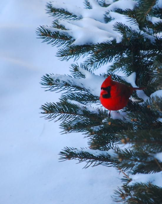 cardinal in the pine