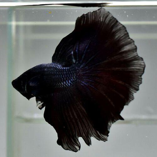 Male Betta Fish Black Opal Or Black Milano Ohm Premium Grade Ma91 Ebay Betta Fish Betta Fish
