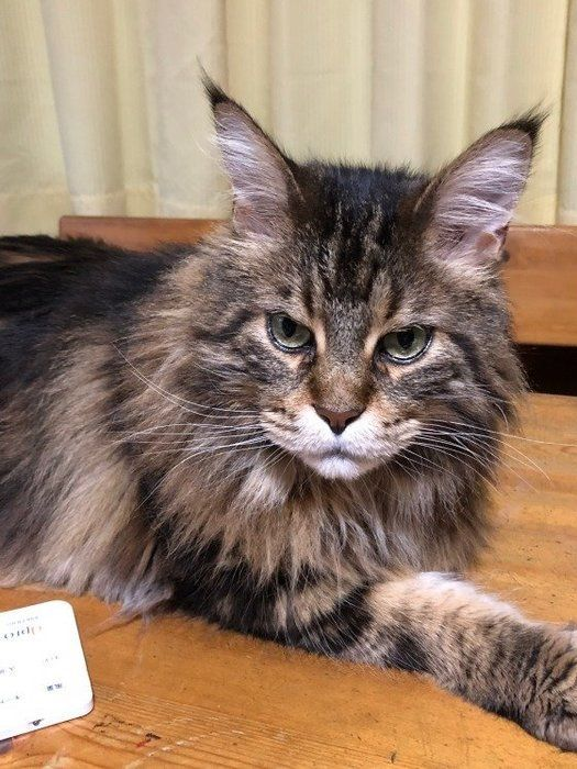 獣医師監修 大型猫メインクーンの大きさや性格 飼い方のコツは ねこのきもちweb Magazine メインクーン 猫 メインクーン 猫