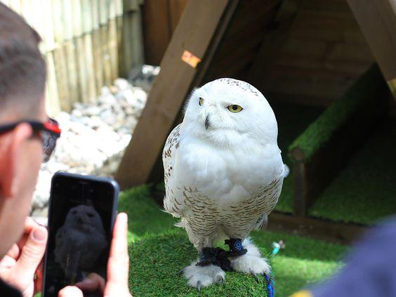 Полярная сова Полина
