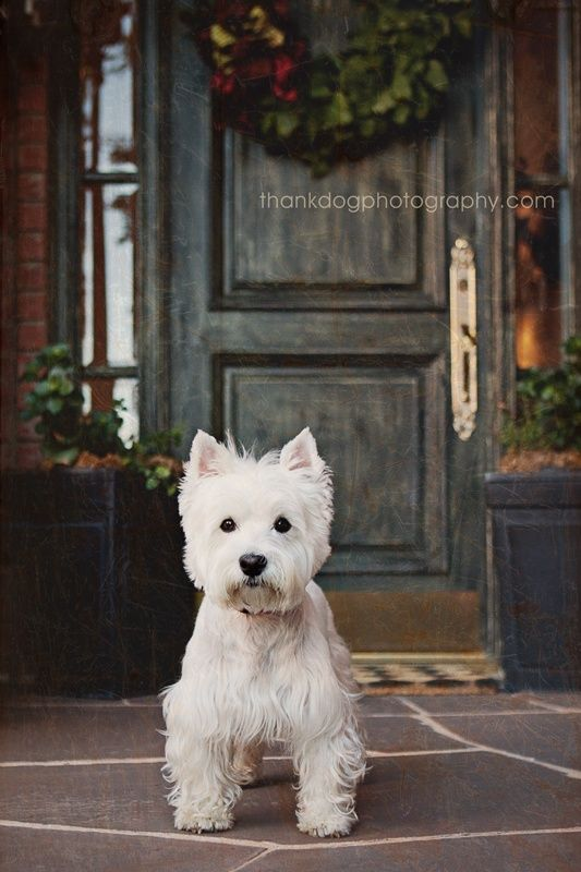 West Highland Terrier. looks exactly like our our westie Charlie who we sadly lost :-(