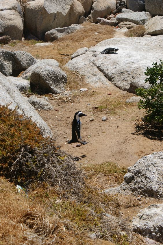 Jzmping Pinguin in Boulders