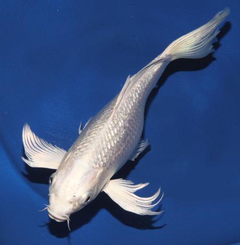 Live koi fish 7 8 white platinum gin rin ogon butterfly for White koi fish
