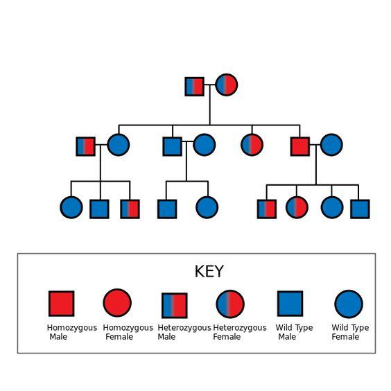 Autosomal Recessive Pedigree Chart | Biological Anthropology ...
