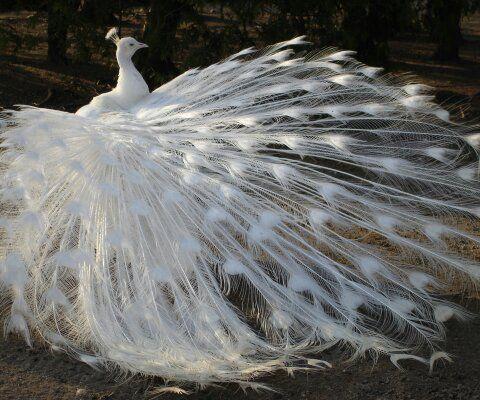 White Peacock, stunning!