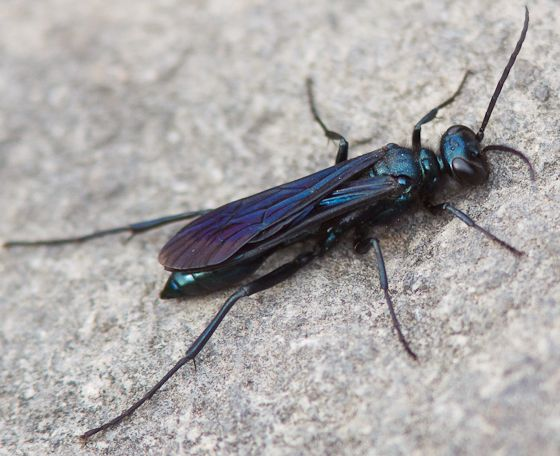 Blue Black Spider Wasp Chalybion Californicum Wasp Wasp Insect Bees And Wasps