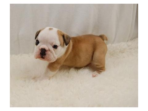 Idea By Annslee Wade On Puppies Bulldog Puppies English Bulldog Puppies English Bulldog Puppy