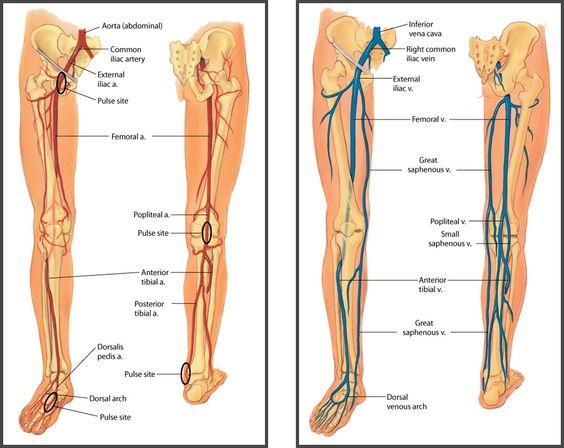 similiar leg arteries diagram of deer keywords, Cephalic Vein