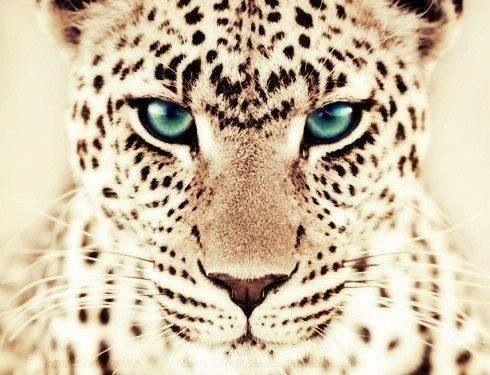 Beautiful eyes <3 cheetah