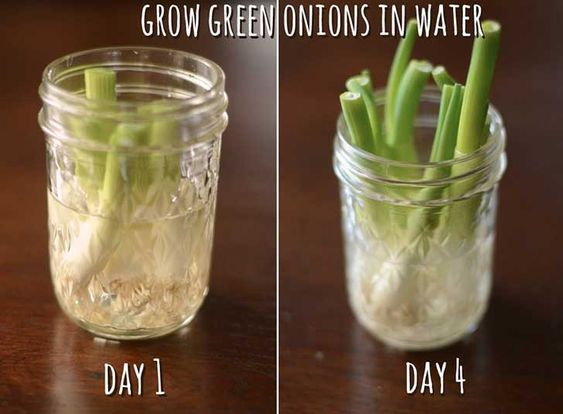 12-Green-Onions rebrotan y puedes volver a utilizarlos
