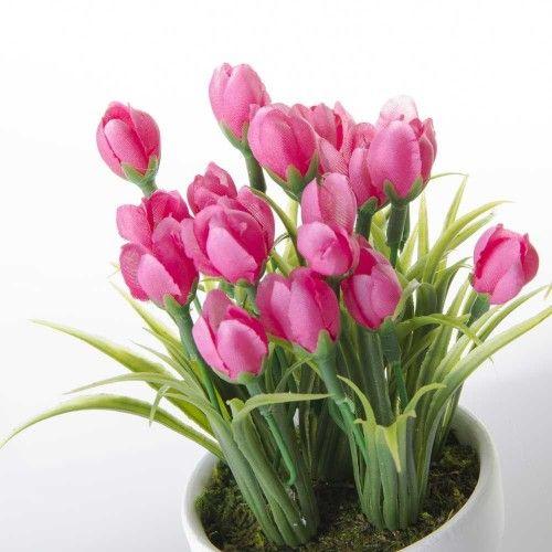 Planta Tulipán