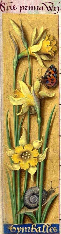 Symballes - Species prima veri (Narcissus Pseudo-Narcissus L. = narcisse jaune) -- Grandes Heures d'Anne de Bretagne, BNF, Ms Latin 9474, 1503-1508, f°17v: