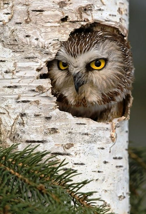 """Northern Saw Whet Owl"""" by Mike Lentz http://earth-song.tumblr.com/post/16552024661/northern-saw-whet-owl-by-mike-lentz"""
