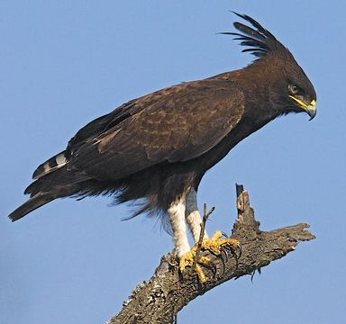 Long-crested eagle - Wikipedia