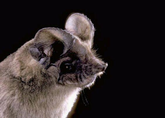 Mexican Freetail Bat.