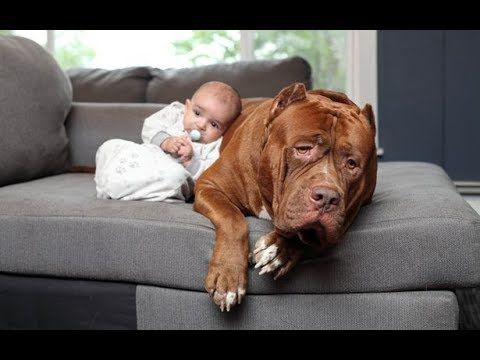 Gentle Pitbull Dogs Falling In Love With Babies Funny Pitbull