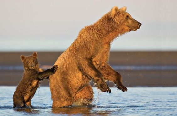 Brown Bears Fishing!!This cub was constantly running to keep up with its mother as she fished. It tried everything that she did. When she stood up to scout the river for salmon, the little bear stood up too, using his mom for support.by Tom Savage