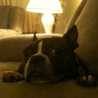 Rosco...Boston Terrier.Cutie pie