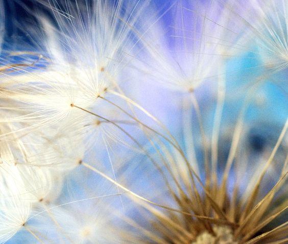 Mylens* -  dandelion frenzy.