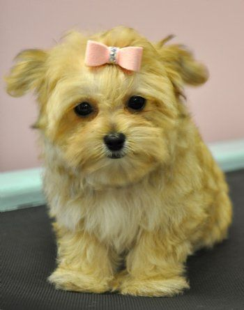 Teacup  #morkie #dogs #cute: