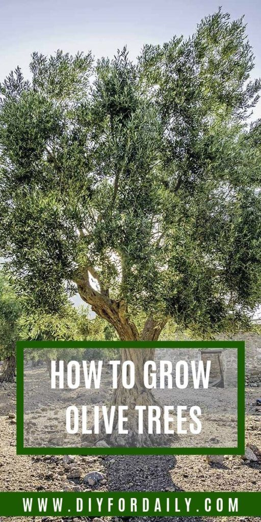 How To Grow Olive Trees In Fall Spring Or When To Plant