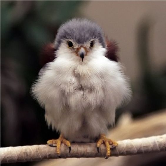 Baby Falcon... SO MUCH FLOOF!: