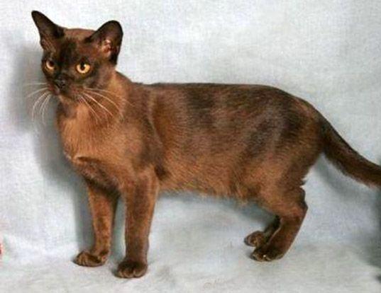 Life Span Of Burmese Burmese Cat Cat Pics Hybrid Cat
