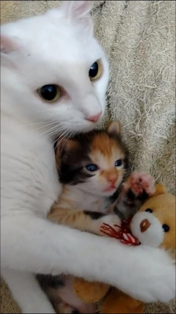 Click The Photo For More Adorable And Cute Cat Videos And Photos Cutecats Cats Kittens Catvideos Kittens Cutest Kittens Cutest Baby Cute Cat Gif