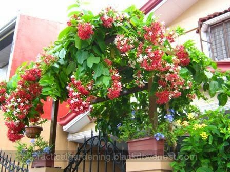 Rangoon Creeper (Quisqualis indica) Growing in an Arch or Arbor - Part 3.  This beautiful flowering vine is only a few months old but is flourishing in a garden vine support.  Here's how to prune the vine into a tree-like compact form.