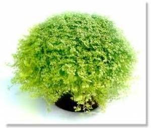 Soleirolia soleirolii. Trives best på en lys plassering, men tåler ikke direkte sol.  Hold pottejorden fuktig, men unngå overvanning. Ca. ved hver vaning i vekstperioden blandes med gjødsel.  Trives både ute og inne.