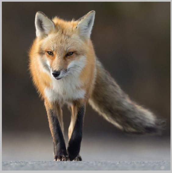 Red Fox 16x16 Metal Print by HarColPhotographs on Etsy