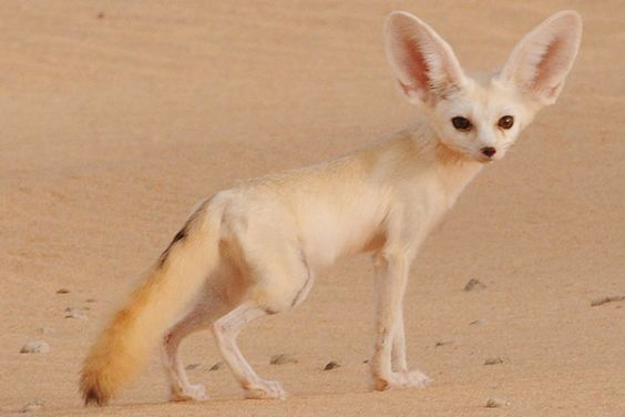 9. Fennec Fox  This small animal is mainly nocturnal living in the Sahara of North Africa. They have oversized ears, and their fur especially helps them survive high temperatures in the desert. They look a bit like a chihuahua, and have a natural life-span of 14 years in captivity. In the wild, unfortunately, they are prone to getting picked off by the African variety of the eagle owl.    Read more: http://pawsaminute.net/smallest-cutest-animals-of-the-world/#ixzz3S9JR1NyP