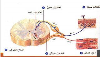 بيولوجيا الانسان جهاز الاعصاب Human Biology The Nervous System Nervous System Biology System