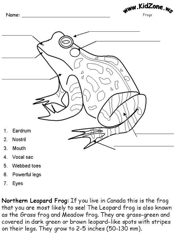 Frog Activity Sheet Labeling A Northern Leopard Frog