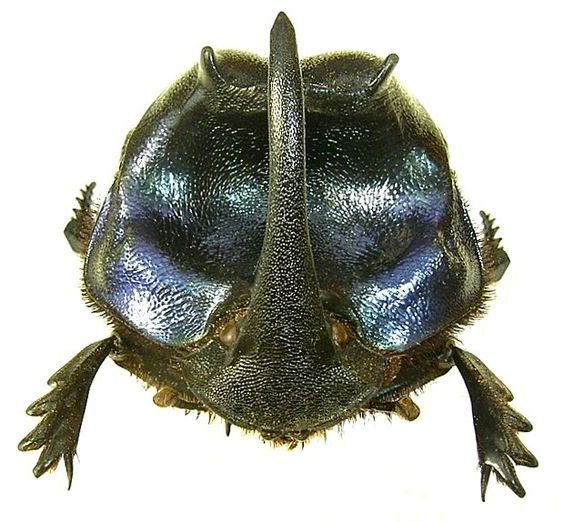 "Coprophanaeus lancifer - ""rola-bosta"""