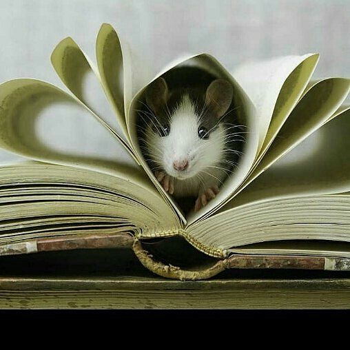 Il Est Tellement Adorable Cuuuuute Cute Rats Pet Rats Rats