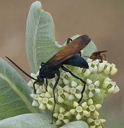 Tarantula Hawk, NM State Insect
