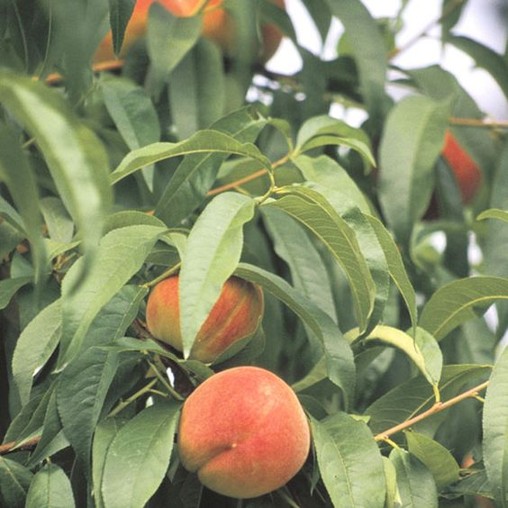 Preserving the Harvest: How to Freeze Peaches