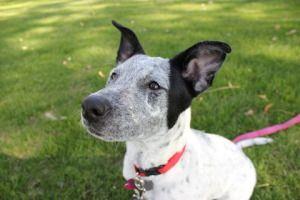 Adopt Mason On Australian Cattle Dog Dogs Animals