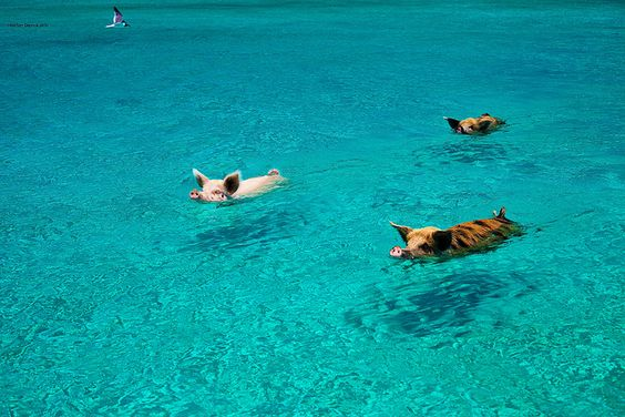 It seems these guys live on an island in the Bahama's.  I have got to go there some day!!!!