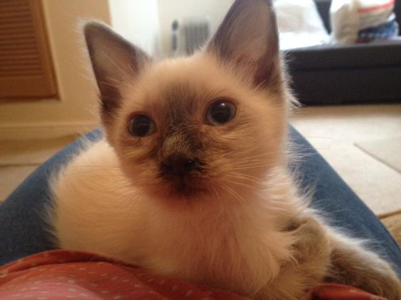 Charlie's first day at home x  #BluePoint #Ragdoll #Kitten