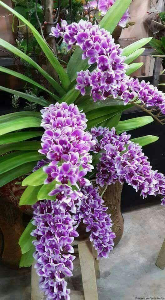 Lavendar Orchids Beautiful Orchids Orchid Flower Vanda Orchids