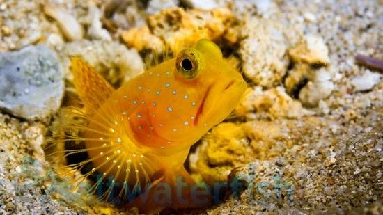 Yellow Watchman Goby Randalli Shrimp Duo Invertebrates Shrimp Breeds Aquarium Fish Fish Pet