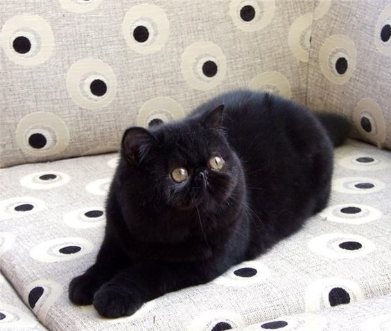 Black exotic shorthair cat. Like a short haired persian ...