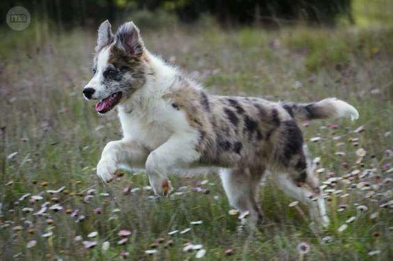 MIL ANUNCIOS.COM - Border collie campeon. Compra-venta de perros border collie…